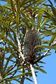 Banksia plagiocarpa youngspike.jpg