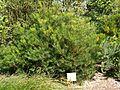 Banksia spinulosa (SRBG).jpg