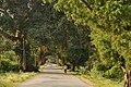 Banyan Roadside DSC 1637.jpg