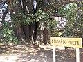 Baobá do Poeta (Adansonia digitata)-02.jpg