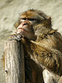 Barbary Macaque portrait, Zoo, Budapest.jpg