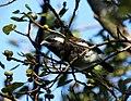 Barbet White-eared 2012 07 11 13 29 39 1283.jpg
