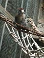 Barcelona-Zoo-Mangabey gris (Cercocebus torquatus) (I).jpg