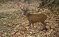 Barking deer((Muntiacus muntjak.jpg