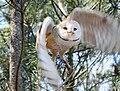 Barn Owl RWD2.jpg