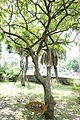 Barringtonia racemosa - National Taiwan University - DSC01158.JPG
