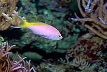 Bartlett's anthias Pseudanthias bartlettorum.jpg
