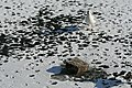 Bassin des Morts gelé, 2012-02-11, mouette rieuse 01.jpg