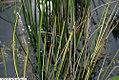 Baumea rubiginosa Variegata 3zz.jpg