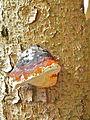 Baumschwamm Rotrandiger (4).JPG