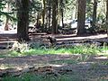 Bear at Sequoia National Park - Flickr - GregTheBusker.jpg