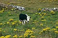 Beara-10-Kuh inmitten gelber Blumen-1989-gje.jpg