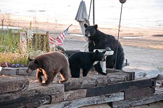 Kings Beach, California - Bears at Kings Beach, August 2010