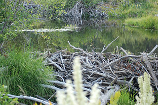 Beaver dam on Meeks Creek, Tahoe Aug 2010.jpg