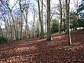 Beeches, Great Wood - geograph.org.uk - 97359.jpg
