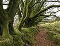 Beeches on wall below The Beacon - geograph.org.uk - 705590.jpg