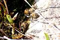 Bees drinking (5862537112).jpg