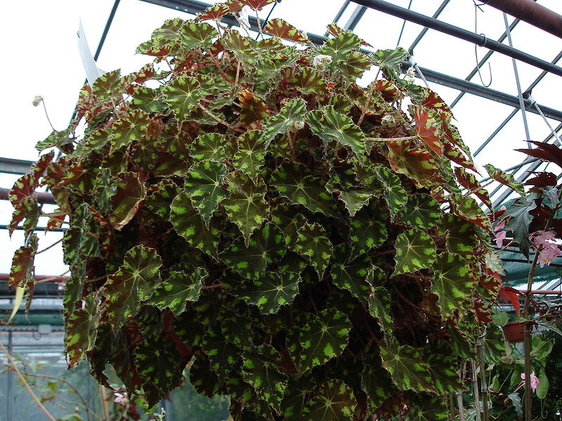 File begonia wikimedia commons - Begonia argentata ...