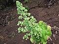 Bejeque (Aeonium canariense).JPG