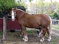 Belgian draft horse.jpg