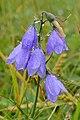 Bellflower (Campanula sp.) - Cape St. Mary's Ecological Reserve, Newfoundland 2019-08-10.jpg