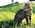 Bengal Cat catcrest1 (cropped).JPG
