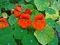 Berberis chitria flowers2.JPG
