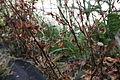 Berberis thunbergii tetranychus 018.jpg