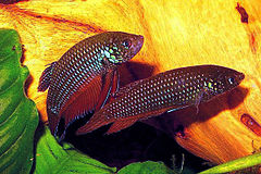 Betta smaragdina pair1.jpg