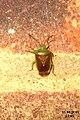 Birch shieldbug (FG) (6236711213).jpg