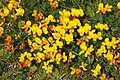 Bird's-foot Trefoil (Lotus corniculatus), Norwick - geograph.org.uk - 1353418.jpg