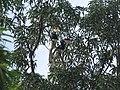 Bird Malabar Pied Hornbill Anthracoceros coronatus IMG 2108 03.jpg