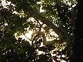 Bird Oriental Pied Hornbill Anthracoceros albirostris IMG 9075 01.jpg