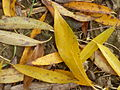 Blätter der Silberweide.jpg