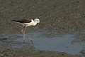 Black-Winged Stilt.jpg