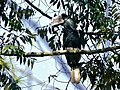 Black-and-white-casqued Hornbill (Bycanistes subcylindricus) (6930438270).jpg