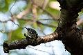Black-and-white Warbler (7235560412).jpg