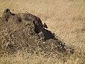 Black-backed Jackal Canis mesomelas in Tanzania 3509 Nevit.jpg