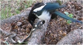 Black-billed magpie eating a wandering garter snake.png
