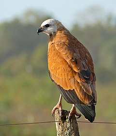 Black-collared Hawk (Busarellus nigricollis) (28205842443).jpg