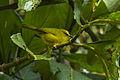 Black-crested Warbler - South Ecuador S4E1428 (23053391282).jpg