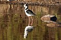 Black-necked Stilt (Himantopus mexicanus) (8077559945).jpg