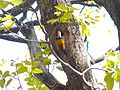 Black-rumped Flameback - Apr07 154.jpg