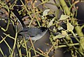 Black-tailed Gnatcatcher (33977922836).jpg