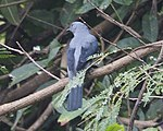 Black-winged Cuckooshrike (Coracina melaschistos) - Flickr - Lip Kee.jpg