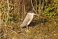 Black Crowned Night Heron 8793.jpg