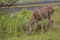 Black Tailed Deer (14597364884).jpg