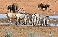 Black Wildebeests, Buffaloes and Plains Zebras (Equus quagga burchellii) at waterhole ... (32742889620).jpg