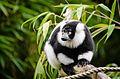 Black and white Ruffed Lemur (22473854642).jpg