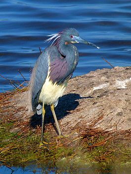 Black point Wildlife Drive, Merritt Island FL - Flickr - Rusty Clark (41).jpg